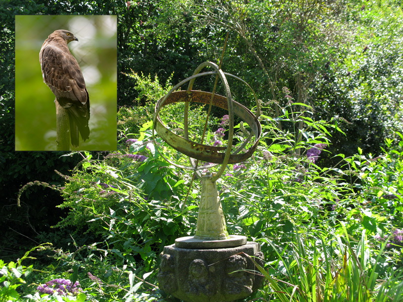 A Hawk perched on the Sacred Geometry in our garden